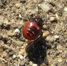 Bagrada hilaris